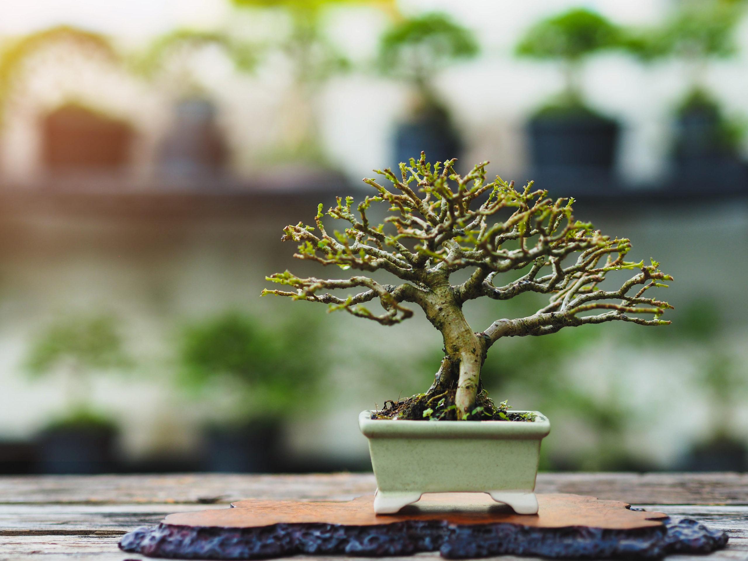 bonsái